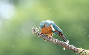 Picture drops, squirt, pose, green, background, bird, food, fish, branch, bird, lunch, bokeh, mining, Kingfisher, bright …