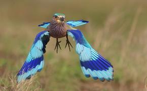 Picture bird, blue, flight