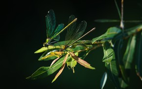 Picture leaves, macro, the dark background, two, dragonfly, dragonflies