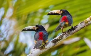 Picture birds, background, branch, a couple, bokeh, Collared aracari, Toucans