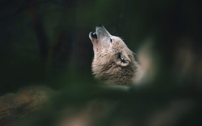 Picture white, face, nature, pose, the dark background, wolf, howl, bokeh, howling, polar