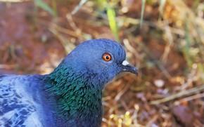 Picture dove, background, bird