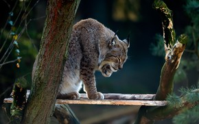 Picture branches, nature, pose, background, tree, Board, paws, lynx, sitting, wild cat
