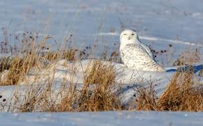Picture winter, field, snow, owl, bird, the snow, white, polar, dry grass, snowy owl