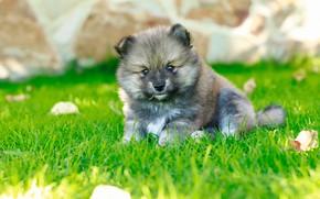 Picture summer, grass, grey, glade, dog, puppy, bokeh, Spitz