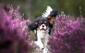 Picture flowers, dog, running, puppy, cavalier-king-Charles-Spaniel