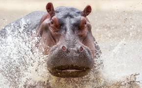 Picture WATER, DROPS, SQUIRT, HEAD, HIPPO