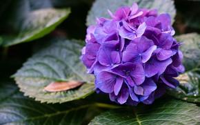 Picture leaves, drops, flowers, petals, purple, inflorescence, lilac, hydrangea