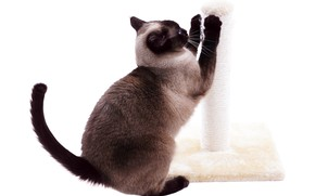 Picture Siamese cat, on hind legs, sharpens claws