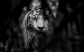 Picture cat, tiger, beast
