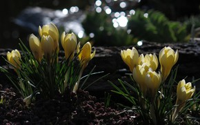 Picture the dark background, spring, yellow, crocuses, bokeh