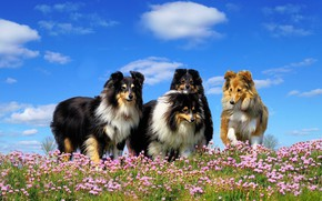 Picture animals, dogs, flowers, meadow