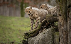 Picture look, nature, pose, stones, snag, two, cubs, cheetahs