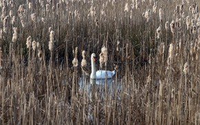 Picture lake, reed, Swan