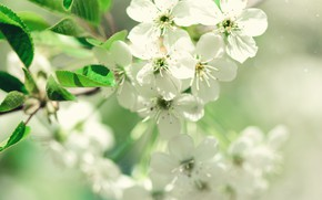 Picture flowers, nature, spring, Apple