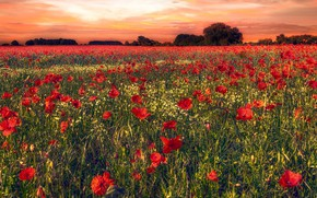 Picture field, summer, trees, flowers, Maki, chamomile, the evening, red, a lot, plantation, poppy field