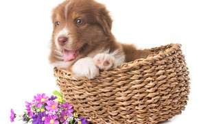 Picture look, flowers, baby, puppy, basket, shepherd, Australian