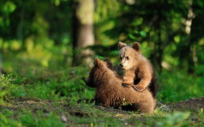 Picture greens, forest, summer, grass, look, trees, pose, bear, bears, pair, bear, kids, bears, a couple, …