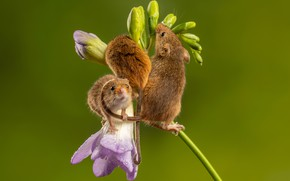 Picture flower, mouse, trio, mouse, the mouse is tiny, мышь-полевка