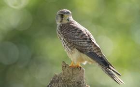 Picture bird, stump, predator, Kestrel
