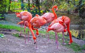 Picture birds, pack, Flamingo, pond, pink flamingos