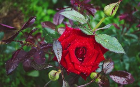 Picture leaves, drops, branches, rose, garden, red, buds, rose Bush