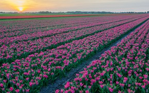 Picture field, the sky, flowers, spring, tulips, the ranks, field of tulips, lilac, plantation, Tulip field