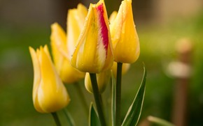 Picture flower, flowers, nature, yellow, Tulip, spring, garden