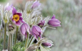 Picture field, summer, flowers, nature, sleep-grass, Pasqueflower