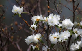 Picture flowers, freshness, branches, background, Bush, beauty, white, white, flowers, flowering, rhododendron, Azalea