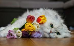 Picture Cat, tulips, British