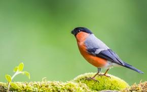 Picture bird, moss, bullfinch, green background