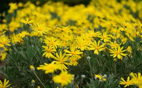 Picture chamomile, yellow, flowerbed, bokeh, feverfew