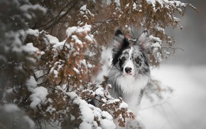 Picture winter, leaves, snow, branches, dog, needles, the border collie