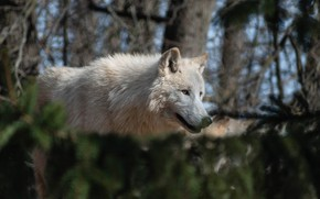 Picture forest, white, look, light, branches, wolf, needles, bokeh, polar, млорда