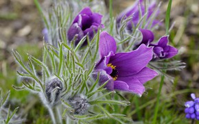 Picture flowers, spring, purple, lilac, anemones