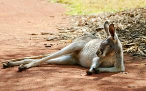 Picture face, light, pose, stay, glade, sleep, paws, kangaroo, sleeping, lies, shadows, ears, closed eyes, marsupials