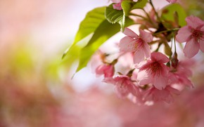 Picture leaves, flowers, nature, cherry, branch, spring, flowering