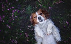 Picture look, face, flowers, pose, the dark background, stay, relax, glade, dog, lies, pink, Heather, kooikerhondje