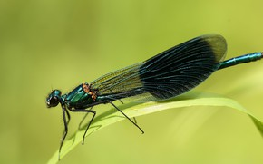Wallpaper leaves, dragonfly, brilliant beauty