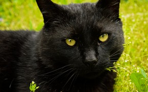 Picture cat, cat, look, face, close-up, black, portrait, green background, Tomcat, Kote, green-eyed