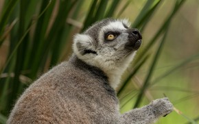 Picture grass, face, leaves, background, paw, portrait, lemur, sitting, view, looking up