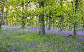 Picture forest, flowers, branches, Park, glade, spring, bells, a lot, lilac, young greens