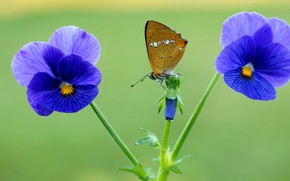 Picture summer, macro, flowers, green, background, butterfly, insect, Pansy, blue, brown, violet, viola