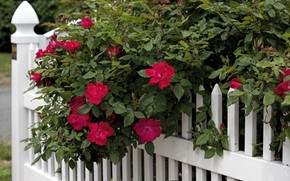 Picture the fence, Bush, roses