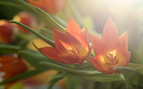 Picture leaves, light, flowers, bouquet, spring, tulips, red, composition