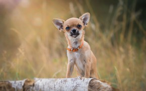 Picture look, portrait, collar, log, bokeh, doggie, Chihuahua, dog