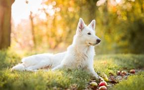 Picture autumn, grass, yellow, nature, background, apples, dog, garden, profile, white, Swiss shepherd dog