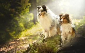 Picture forest, dogs, moss, stump, a couple, Sheltie, Shetland Sheepdog