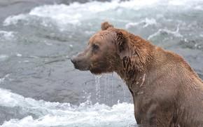 Picture water, wet, bear, Alaska